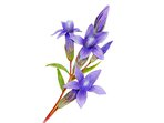 Bohemian Early Gentian